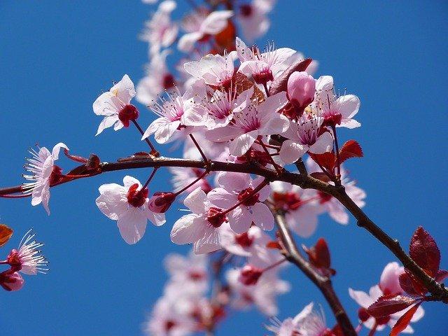 Cerezo-Terapia original de Japón